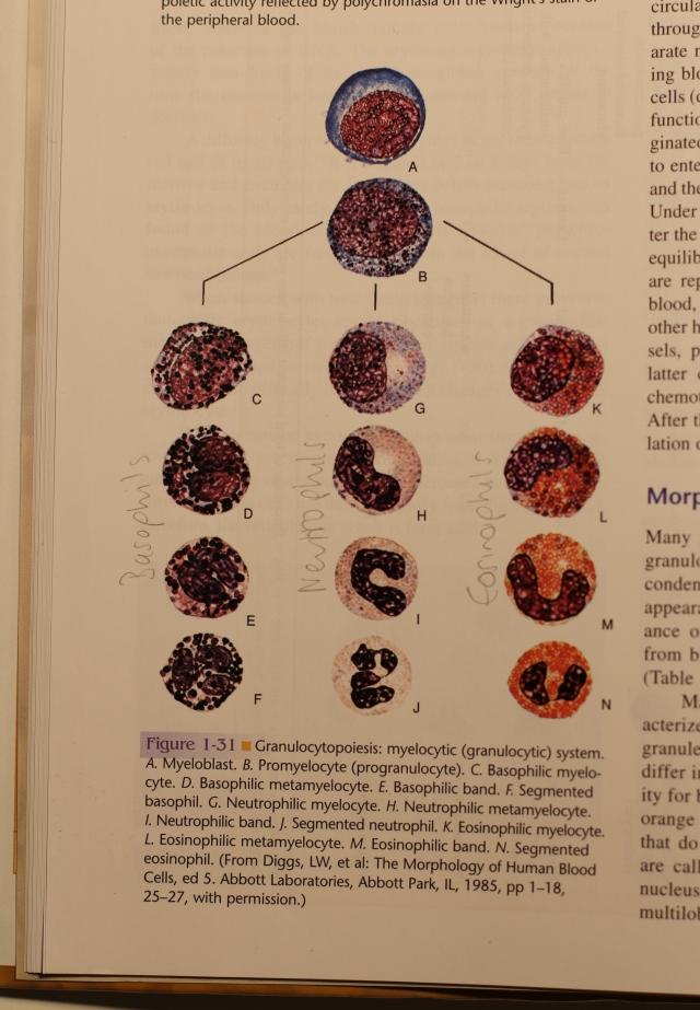 Granulocytopoiesis